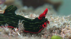 Red and green stripped Nudibranch Stock Footage