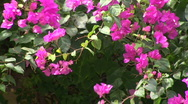 Stock Video Footage of mex flowers and vine mcu 045