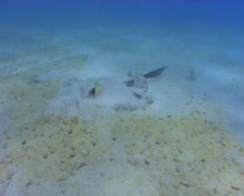 Feather tale stingray feeding in the sand  Stock Footage