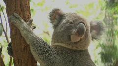 Koala - stock footage