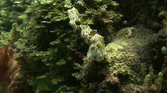 Sea cucumber while feeding (Bohadschia graeffei) - stock footage