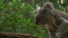 Koala Stock Footage