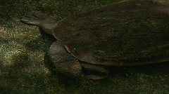 Tortise or FreshwaterTurtle Stock Footage