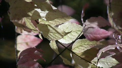 Close-up of the yellow, translucent, autumn leaves of a wahoo (Euonymus verrucos Stock Footage