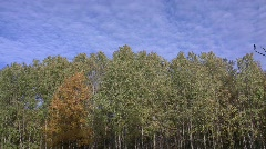 Autumn aspen (Populus tremula) forest in the sunny windy evening against a blue  Stock Footage