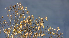Golden aspen (Populus tremula) leaves trembling in the wind against a blue sky  Stock Footage