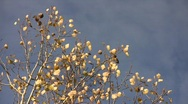 Stock Video Footage of Golden aspen (Populus tremula) leaves trembling in the wind against a blue sky