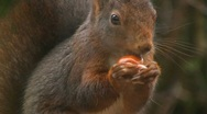 Stock Video Footage of Squirrel finds hazelnut