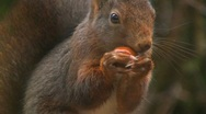 Stock Video Footage of Squirrel eats hazelnut