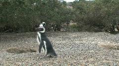Penguin walking Stock Footage