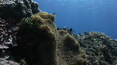 Clownfish inhabited  Anemone in reef with blue water Stock Footage