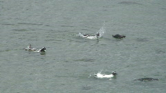 Penguins swimming in the sea Stock Footage