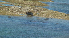 Sealions, patagonia, Argentina Stock Footage