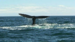 Whale splashing with his tail - stock footage