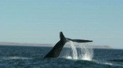 Whale splashing with his tail Stock Footage