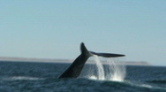 Stock Video Footage of Whale splashing with his tail