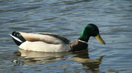 Stock Video Footage of Mallard Duck Swimming In Wetland