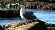 Stock Video Footage of Seagull Standing On Rock