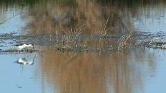 Black Necked Stilt Walking Across Wetland Stock Footage
