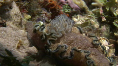 Feathered gills of a nudibranch - stock footage