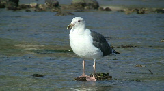 Seagull Standing On Rock In Tide Pool Stock Footage