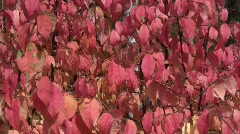 Rosy autumn leaves of a wahoo (Euonymus verrucosa) bush swaying in the wind  Stock Footage