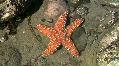 Orange Starfish In Tide Pool - stock footage