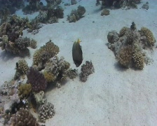 Emporer Angel fish - long to close view Stock Footage