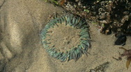 Stock Video Footage of Sea Anemone In Tide Pool