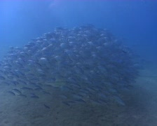 Spanish Mackerel school Stock Footage