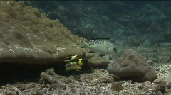 Juvenile and adult sweetlip fish in a  coral reef Stock Footage