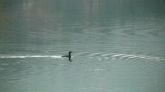 Cormorant - stock footage