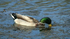 Mallard Duck Swimming In Wetland Stock Footage