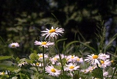 White Daisy in the Grass Stock Footage