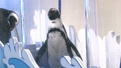African Black Footed Penguin in Plastic tube Stock Footage