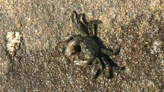 Crab Feeding On Rock Stock Footage