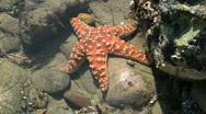 Stock Video Footage of Orange Starfish In Tide Pool