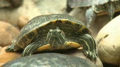 Turtle close up, red eared slider, sunbath on rock Stock Footage