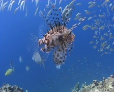 Lion fish and small bait ball Stock Footage