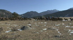 P00764 Large Elk Herd Stock Footage