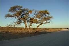Kalahari camel thorn tree NTSC - stock footage