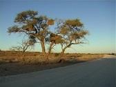 Kalahari camel thorn tree NTSC Stock Footage