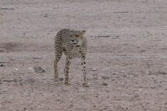 Cheetah female approaching water hole NTSC Stock Footage