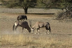 Gemsbuck bulls fighting NTSC Stock Footage