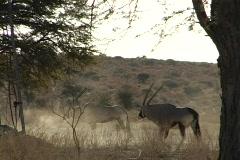 Gemsbok bulls at water hole cu NTSC Stock Footage