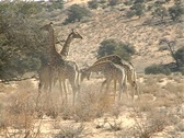 Giraffes duelling Stock Footage