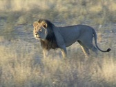 Stock Video Footage of Lion male hunting NTSC