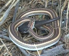 Kalahari sand snake catching sand lizard PAL Stock Footage