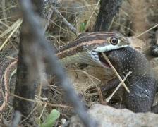 Kalahari sand snake eating sand lizard PAL Stock Footage