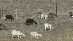 P00768 Domestic Goats on Rangeland Stock Footage